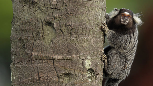 A marmoset seen during the final round at the HSBC LPGA Brasil Cup 2012